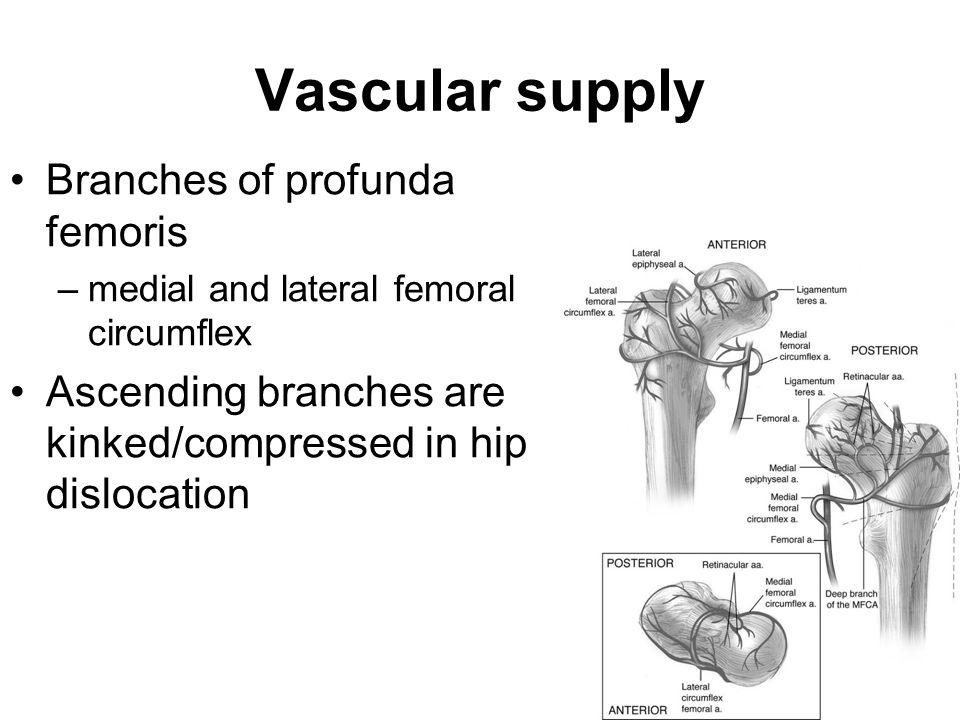 Vascular supply Branches of profunda femoris