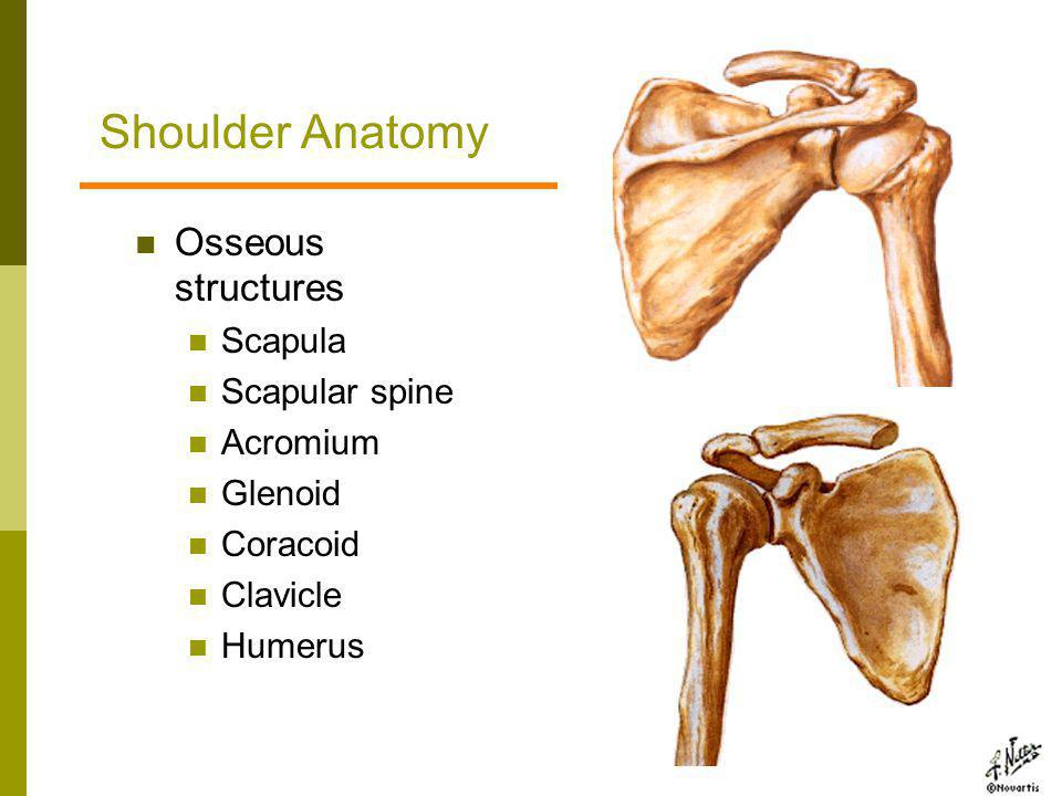 Shoulder Anatomy Osseous structures Scapula Scapular spine Acromium