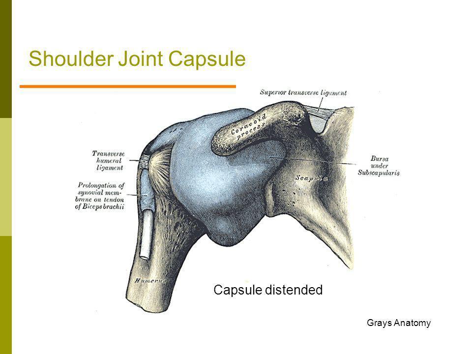 Shoulder Joint Capsule