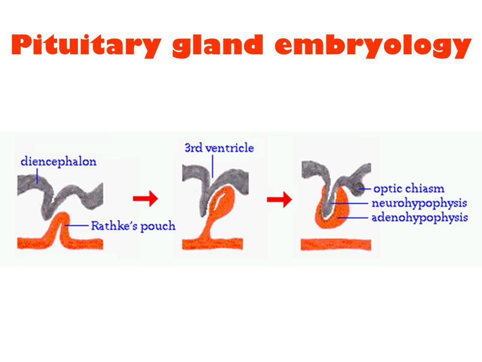 Pituitary gland embryology
