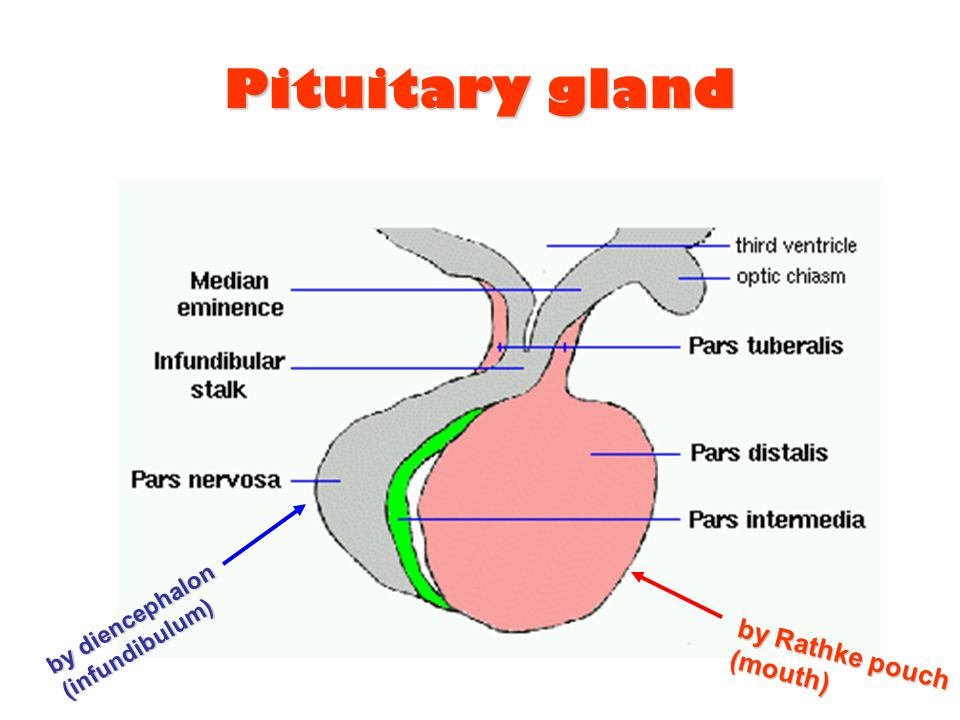 Pituitary gland by diencephalon (infundibulum) by Rathke pouch (mouth)
