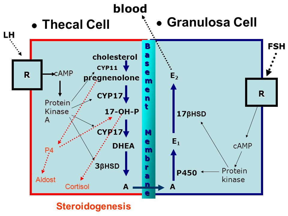 Granulosa Cell Thecal Cell blood Steroidogenesis LH FSH R R Basement