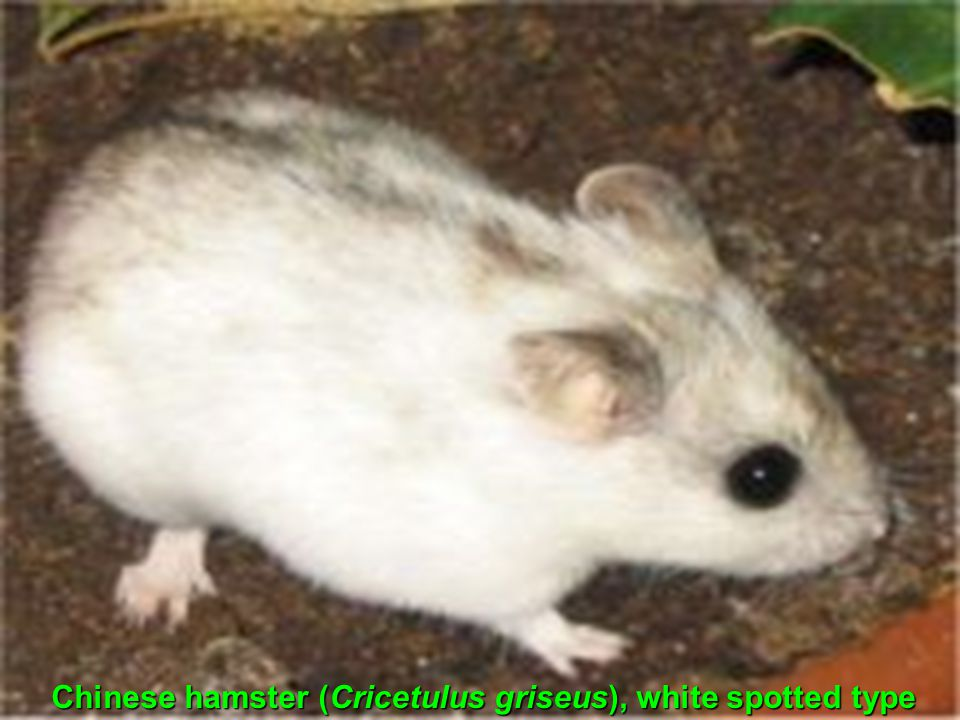 Chinese hamster (Cricetulus griseus), white spotted type