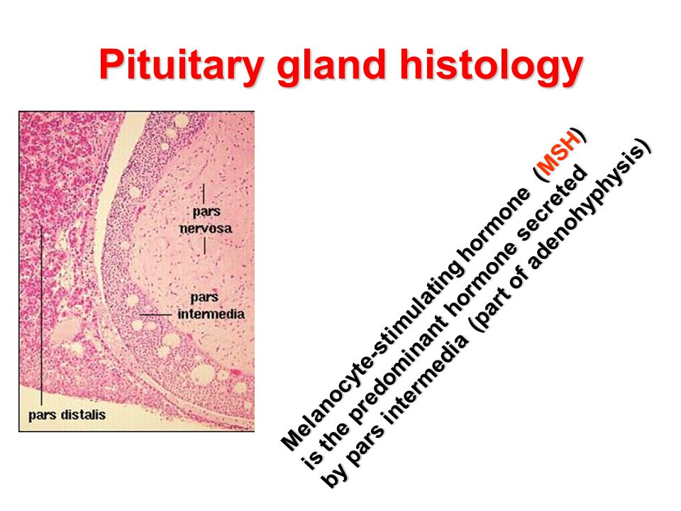 Pituitary gland histology