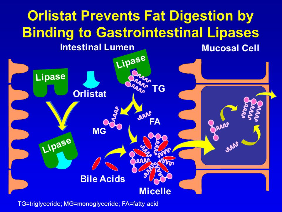 Orlistat Prevents Fat Digestion by Binding to Gastrointestinal Lipases