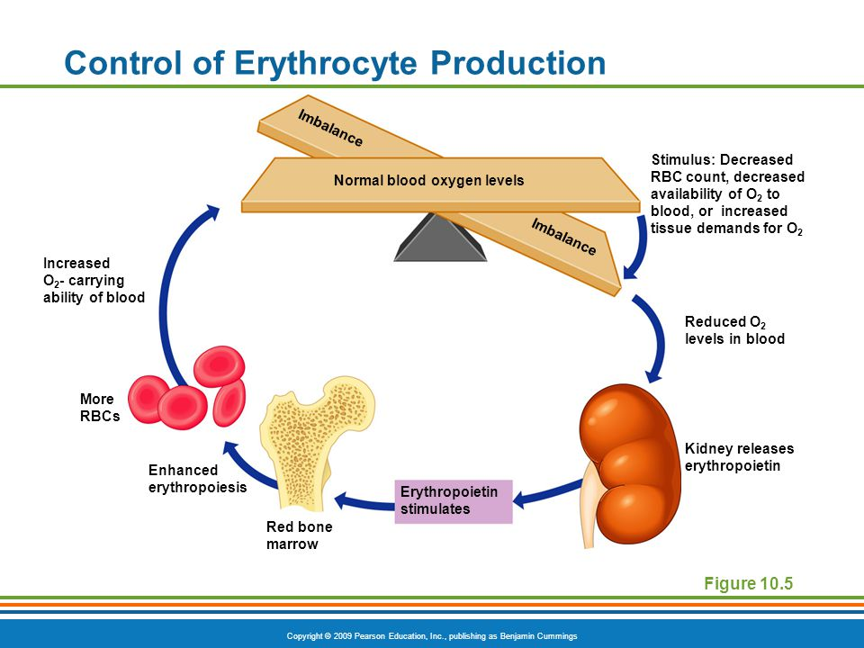Control of Erythrocyte Production