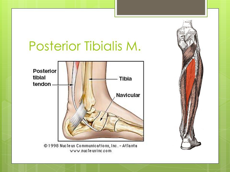 Posterior Tibialis M. ORIGIN: upper 1/3rd of post. tibia, fibula, interosseous membrane.