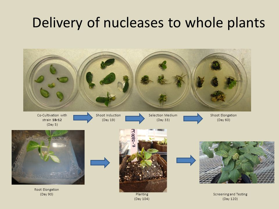 Delivery of nucleases to whole plants
