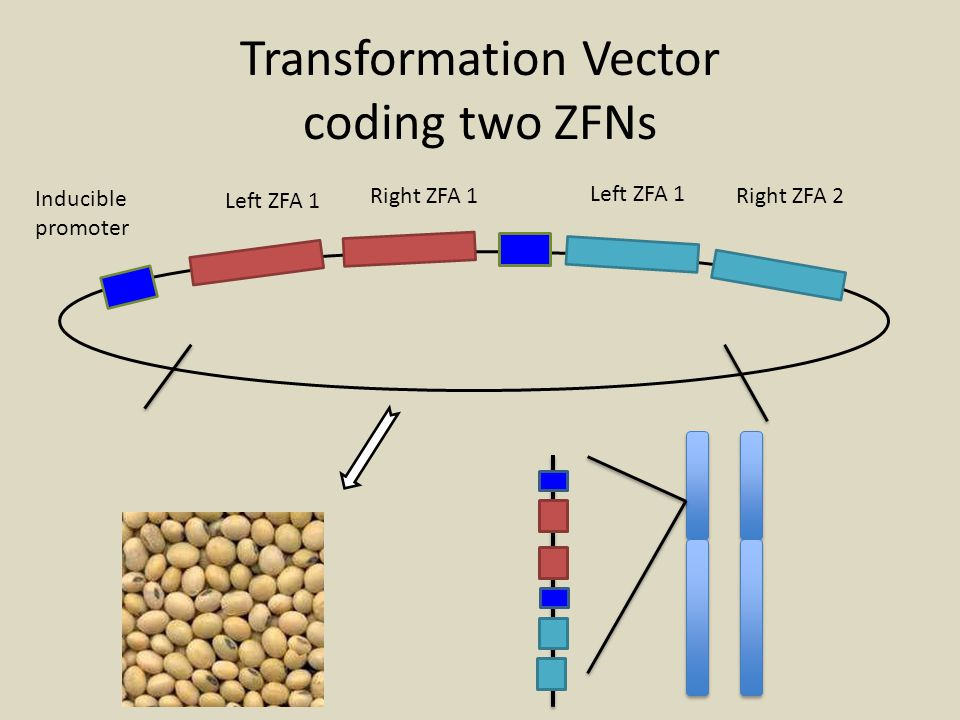 Transformation Vector coding two ZFNs