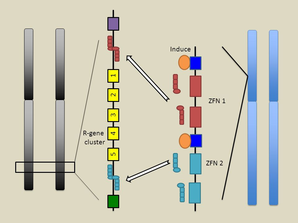 Induce 1 2 ZFN 1 3 R-gene 4 cluster 5 ZFN 2