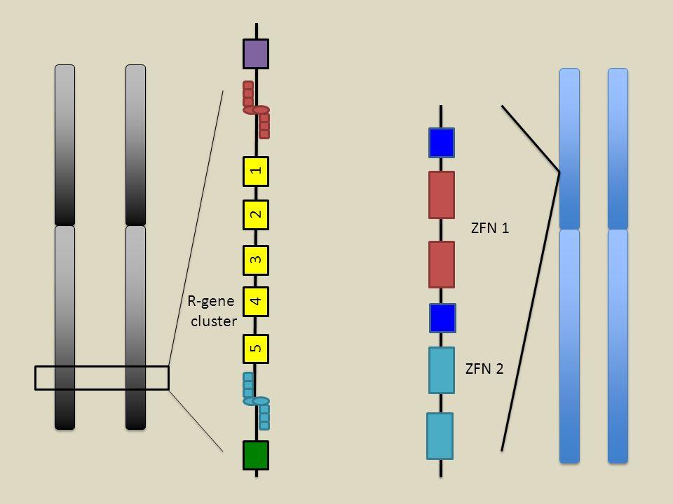 1 2 ZFN 1 3 R-gene cluster 4 5 ZFN 2