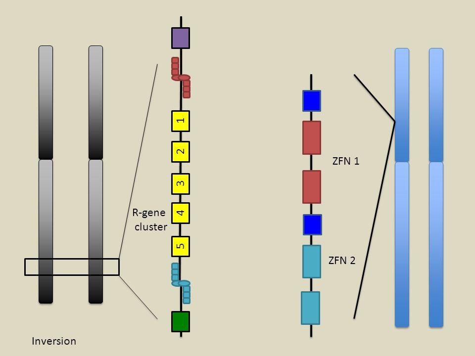 1 2 ZFN 1 3 R-gene cluster 4 5 ZFN 2 Inversion
