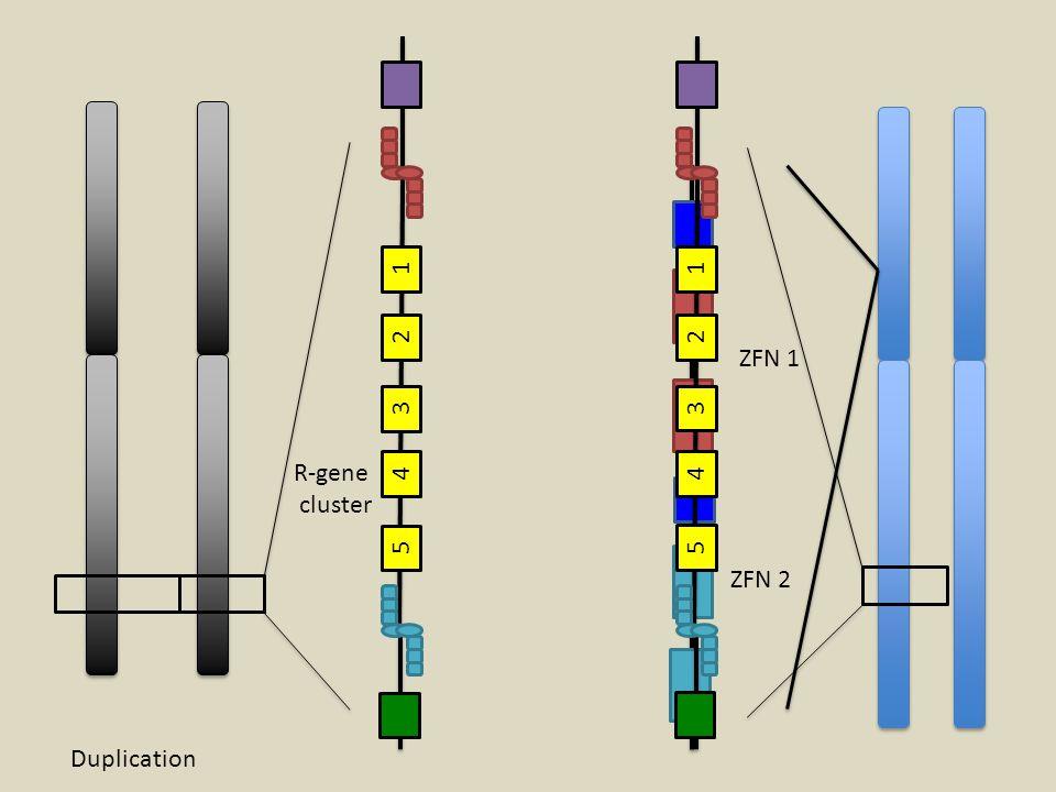 1 1 2 2 ZFN 1 3 3 R-gene cluster 4 4 5 5 ZFN 2 Duplication