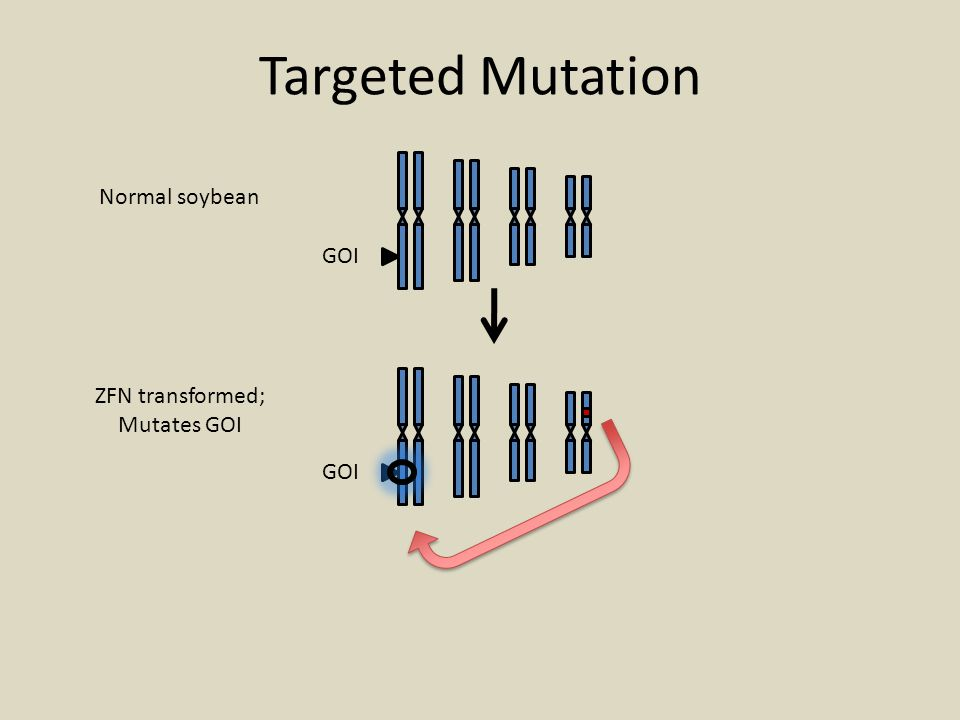Targeted Mutation Normal soybean GOI ZFN transformed; Mutates GOI GOI