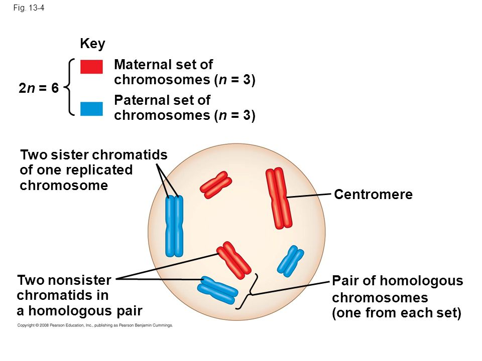 Key Maternal set of chromosomes (n = 3) 2n = 6 Paternal set of