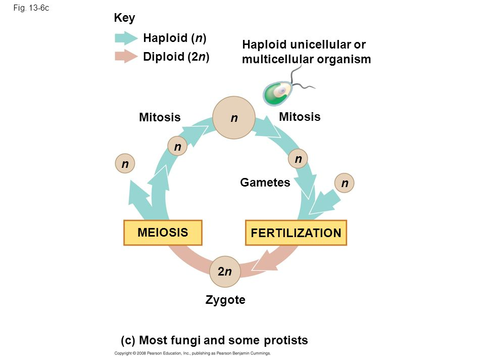 Haploid unicellular or multicellular organism Diploid (2n)