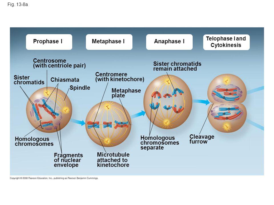 Prophase I Metaphase I Anaphase I Centrosome (with centriole pair)
