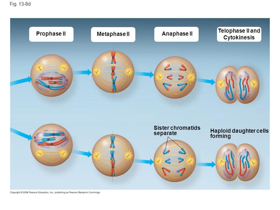 Telophase II and Cytokinesis