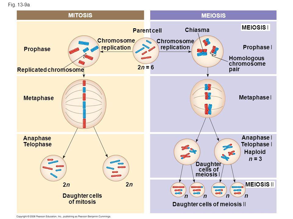 Replicated chromosome