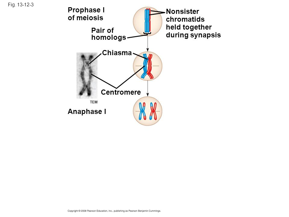 Prophase I Nonsister of meiosis chromatids held together