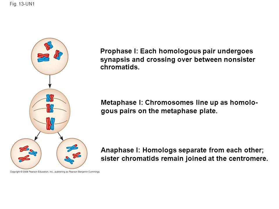 Prophase I: Each homologous pair undergoes