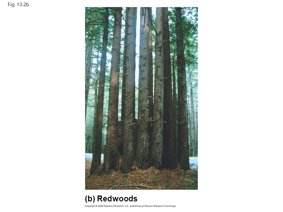 Fig. 13-2b Figure 13.2 Asexual reproduction in two multicellular organisms (b) Redwoods