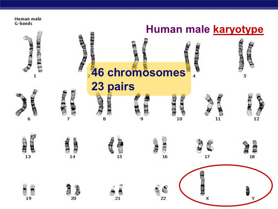 Human male karyotype 46 chromosomes 23 pairs