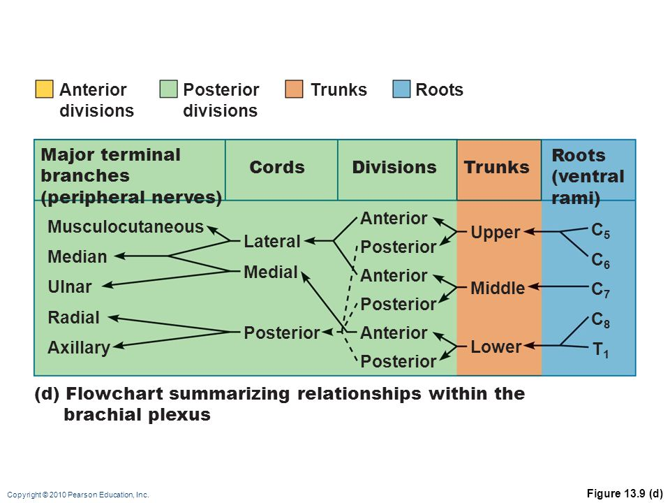 (d) Flowchart summarizing relationships within the brachial plexus