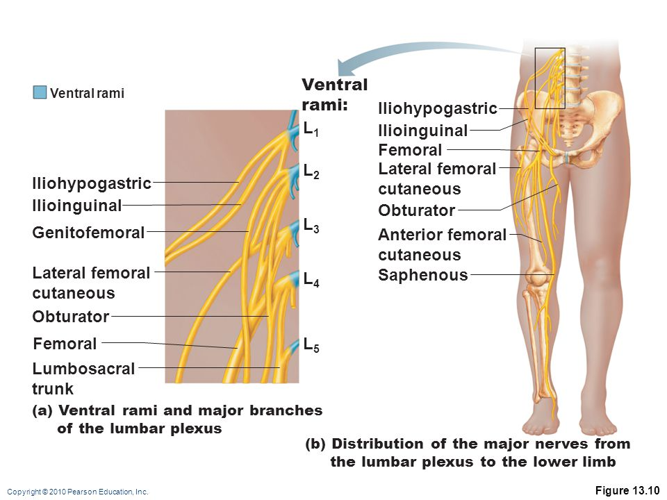 the peripheral nervous system and reflex activity: part c - ppt, Muscles