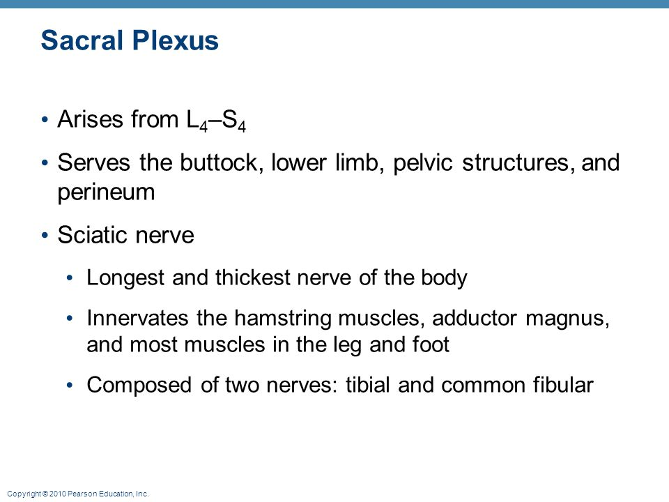 Sacral Plexus Arises from L4–S4