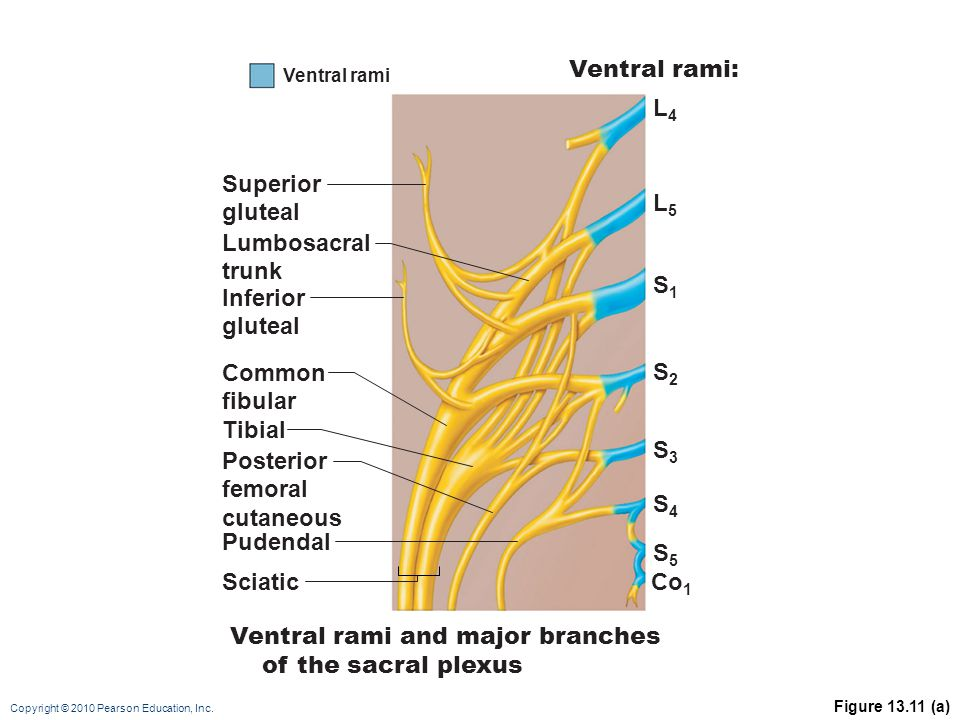 Ventral rami and major branches of the sacral plexus