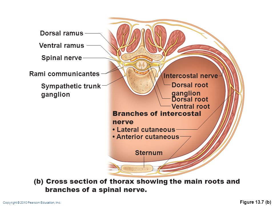 Branches of intercostal nerve