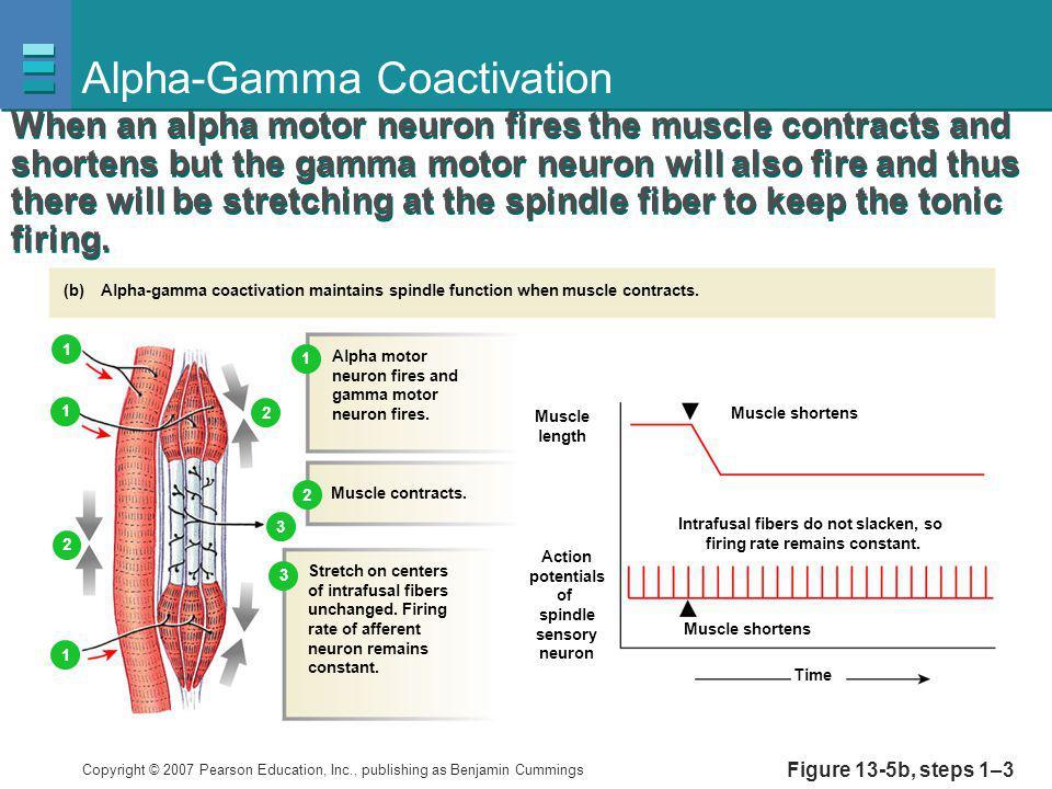 Alpha-Gamma Coactivation