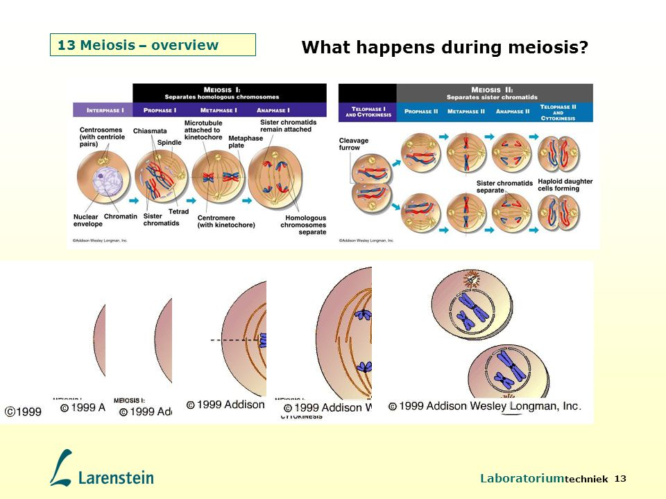 What happens during meiosis