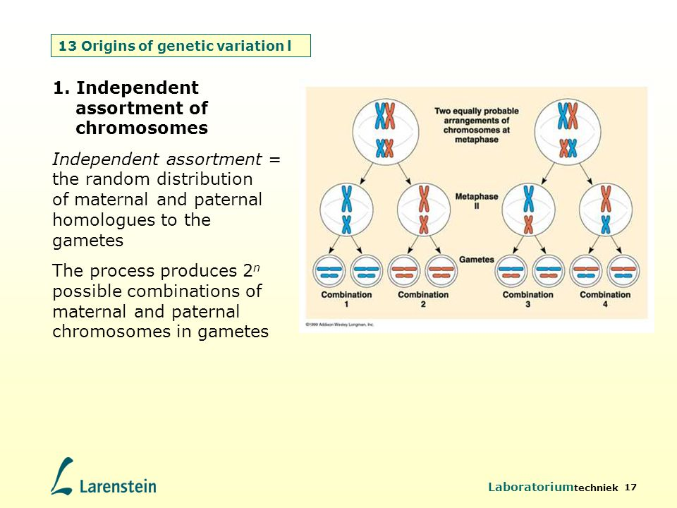13 Origins of genetic variation l