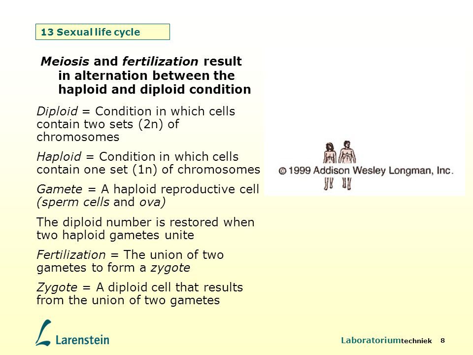 Haploid = Condition in which cells contain one set (1n) of chromosomes
