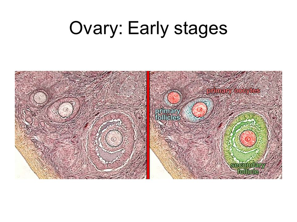 Ovary: Early stages
