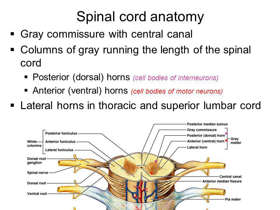 Spinal cord anatomy Gray commissure with central canal