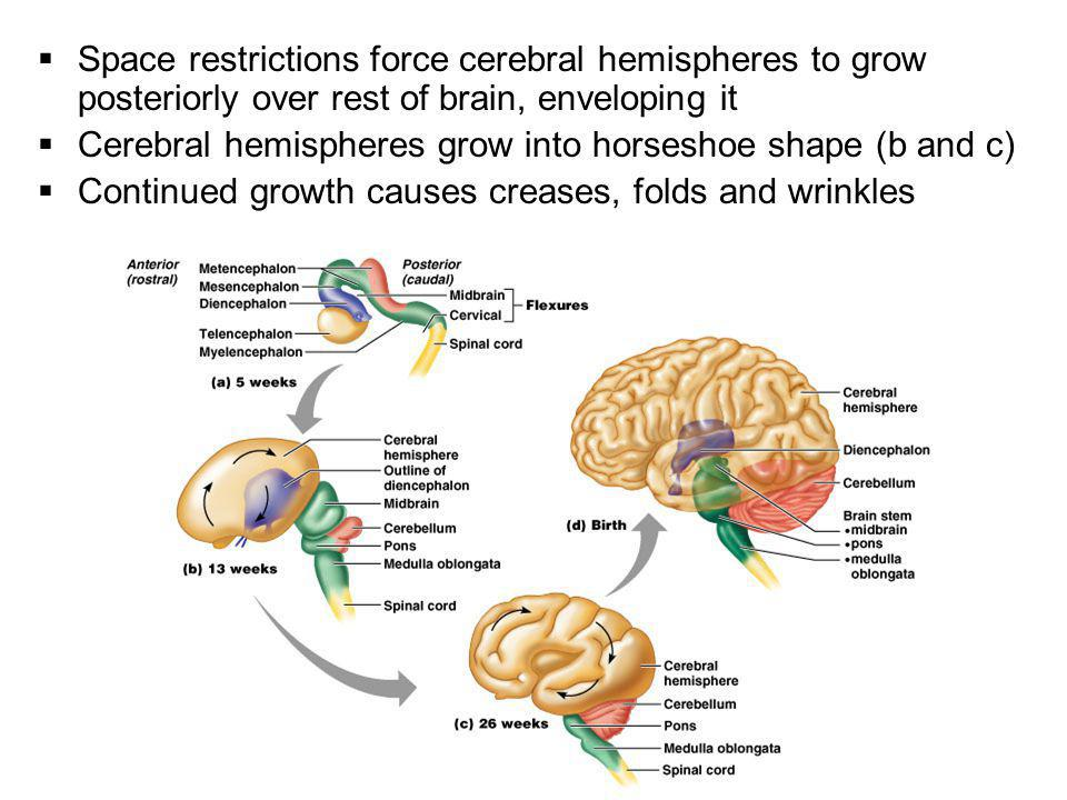 Space restrictions force cerebral hemispheres to grow posteriorly over rest of brain, enveloping it