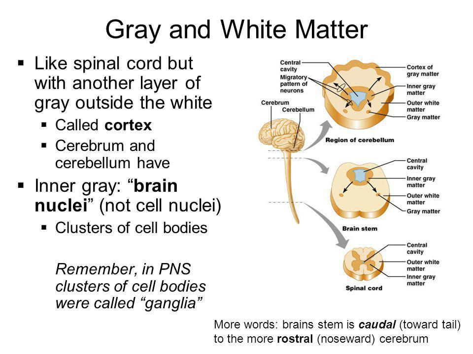 Gray and White Matter Like spinal cord but with another layer of gray outside the white. Called cortex.