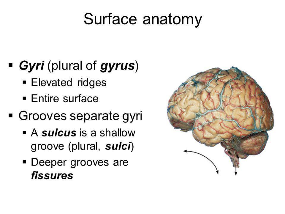 Surface anatomy Gyri (plural of gyrus) Grooves separate gyri