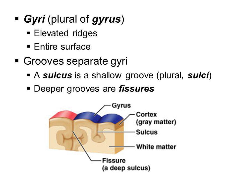 Gyri (plural of gyrus) Grooves separate gyri Elevated ridges