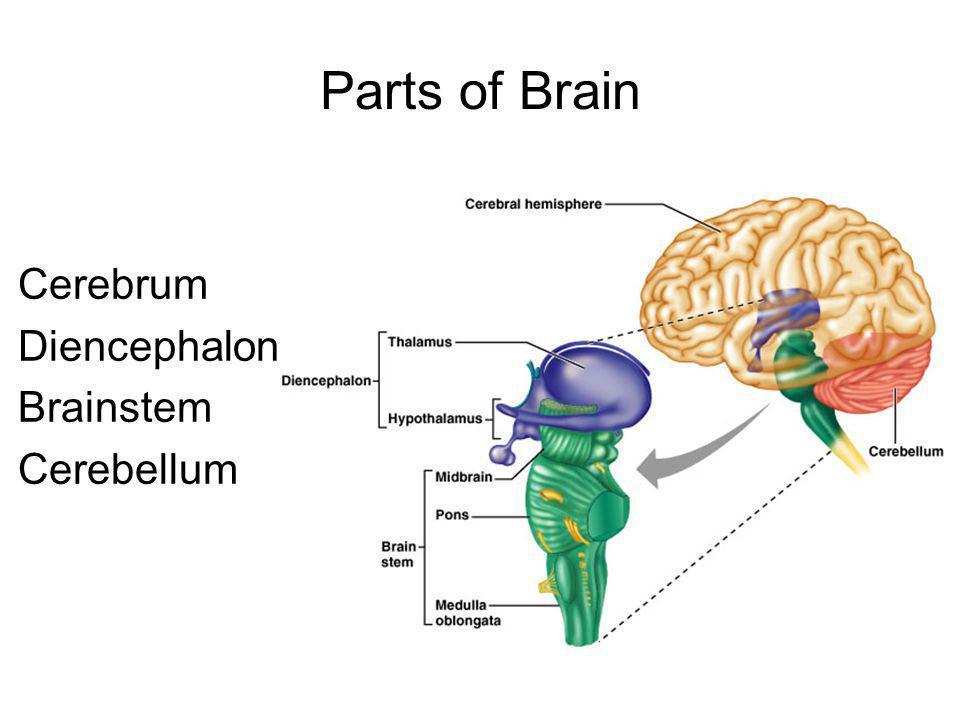 Parts of Brain Cerebrum Diencephalon Brainstem Cerebellum