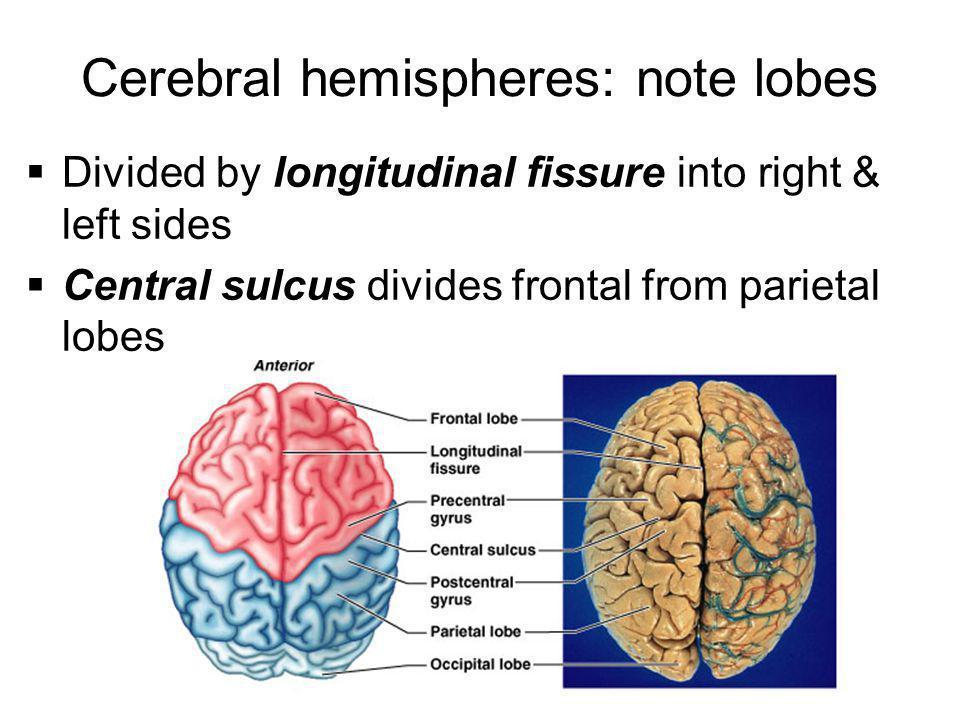 Cerebral hemispheres: note lobes