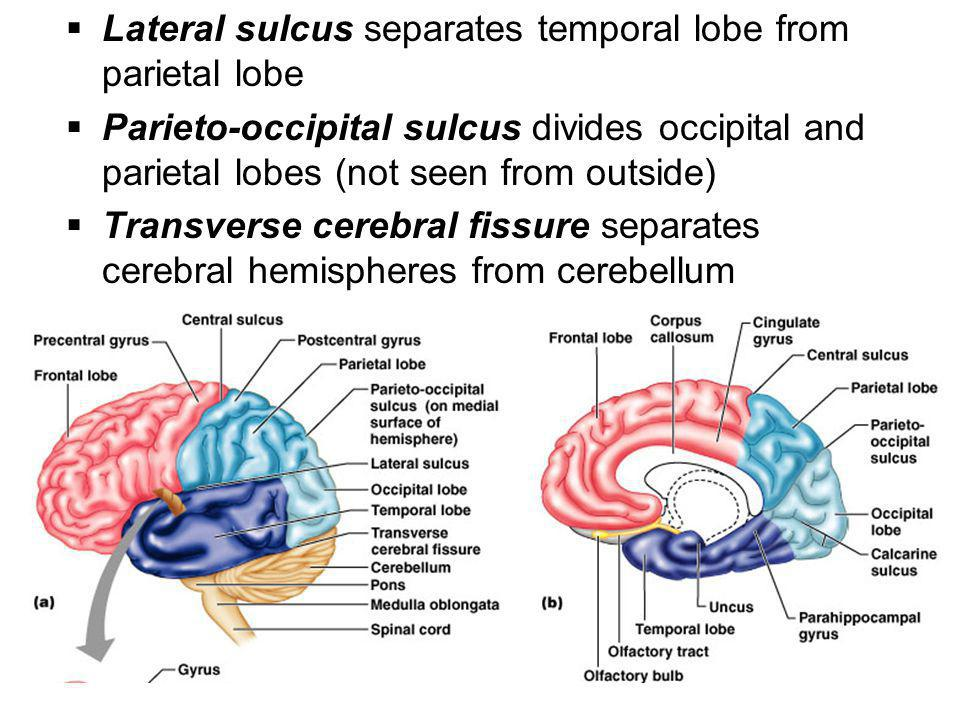 Lateral sulcus separates temporal lobe from parietal lobe