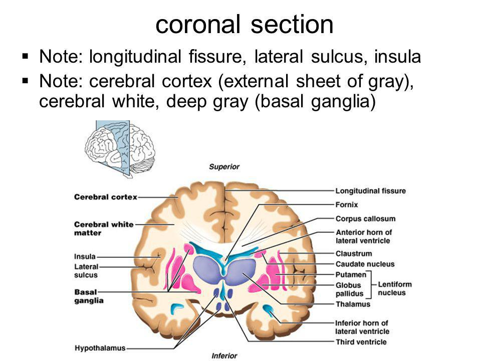 coronal section Note: longitudinal fissure, lateral sulcus, insula