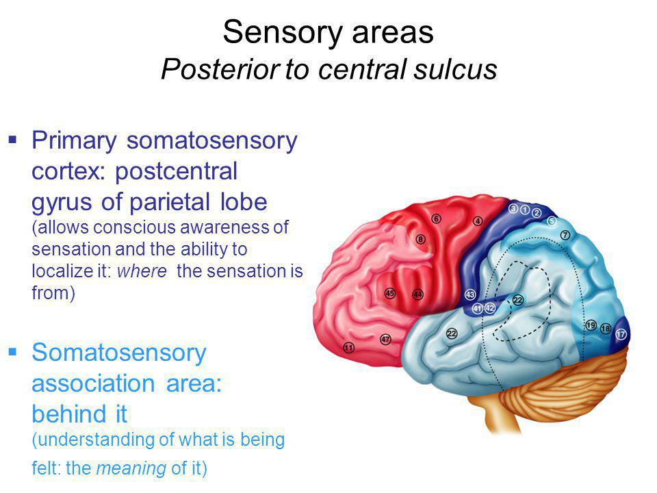 Sensory areas Posterior to central sulcus