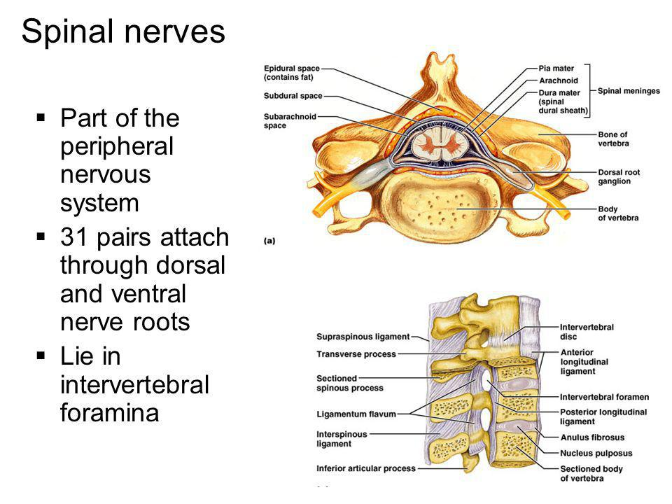 Spinal nerves Part of the peripheral nervous system