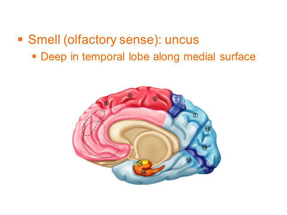 Smell (olfactory sense): uncus