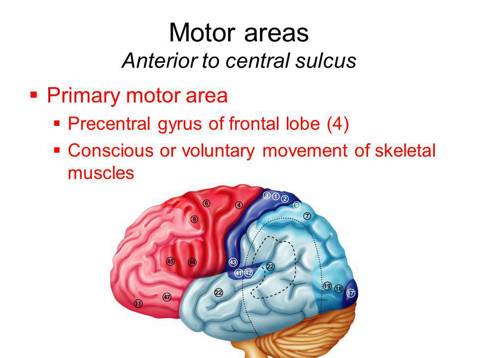 Motor areas Anterior to central sulcus